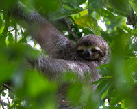 Tre toed sengångare i Costa Rica Royaltyfria Bilder