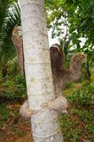 Tre-toed sengångareklättring på ett träd Royaltyfria Bilder