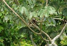 Tre toed sengångaren som nästan vilar över för markistorn för filial en loge, Panama royaltyfri foto