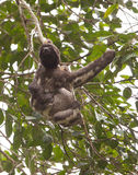 Tre-toed Sloth Arkivfoto