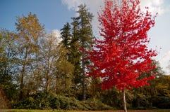 Tre träd med färgrika sidor, rött, grönt och gult Arkivbild