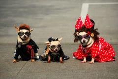 Tre trendiga hundkapplöpning (Chihuahuas) Royaltyfria Bilder