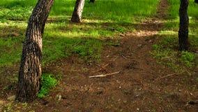 Tre tronchi di albero, erba e percorsi del suolo fotografia stock