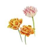 Tre tulipani Immagine Stock
