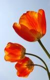 Tre tulipani arancioni Fotografia Stock