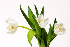 Tre tulipani bianchi Fotografia Stock Libera da Diritti