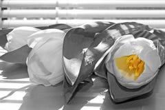 Tre tulipani bianchi con tonalit? a strisce dai ciechi immagine stock