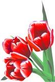 Tre tulipani dei fiori del claret Fotografia Stock