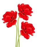 Tre tulipani rossi Immagine Stock