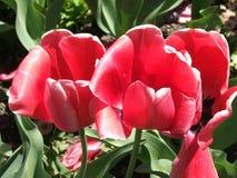 Tre tulipani rossi Fotografia Stock Libera da Diritti