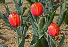 Tre tulipani rossi Immagini Stock Libere da Diritti