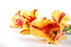 Tre tulipani sbocciano fuori nella prospettiva Fotografia Stock