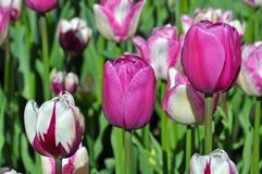 Tre tulipani in una fila fotografia stock