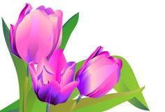 Tre tulipani viola dei fiori Fotografia Stock