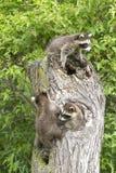 Tre tvättbjörnar i ett träd Arkivfoton