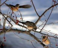 Tre uccelli Fotografia Stock