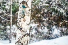 Tre uccelli affamati del paro che mangiano dall'alimentatore hanno appeso sull'albero di betulla Alimentandosi alle precipitazion immagini stock libere da diritti