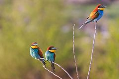 Tre uccelli colorati si siedono sui rami sottili Immagini Stock