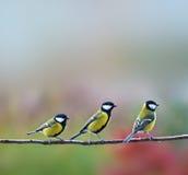 Tre uccelli dei titmouses Fotografia Stock Libera da Diritti