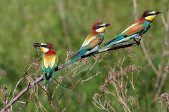 Tre uccelli di bee-eater Fotografia Stock Libera da Diritti