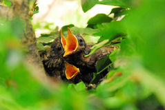 Tre in un nido 01 Fotografie Stock