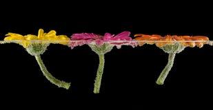 Tre undervattens- gerberas Abstrakt begrepp Fotografering för Bildbyråer