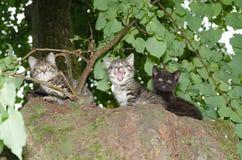 Tre unga lösa katter Royaltyfria Foton