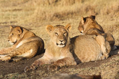 Tre unga lejon i morgonljus arkivbild