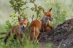 Tre unga ställningar för röda rävar på vaggar i gräset arkivfoto