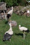 Tre unga storkar i en parkera Arkivbild