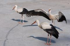 Tre unga storkar på vägen Arkivfoto