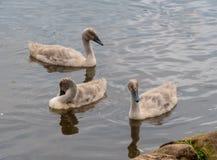 Tre unga unga svanar arkivbilder