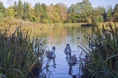 Tre unga svanar i ett damm fotografering för bildbyråer