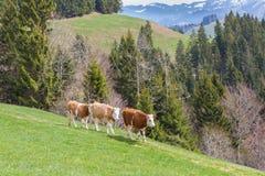 Tre unga tjurar som går på den gröna ängen, skog, berg arkivbilder