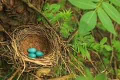 Tre uova blu del tordo nella paglia annidano su un albero nella foresta Fotografia Stock