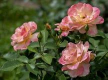 Tre uppvecklade stora steg blommor av en mjuk rosa färg på de rosa buskarna royaltyfri foto