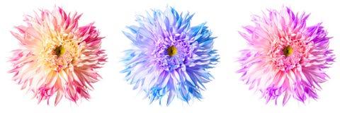 Tre utmärkta blommor av dahlia i olika färgskuggor Royaltyfri Illustrationer