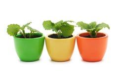 Tre växter i varicolored keramiska koppar. Royaltyfri Bild