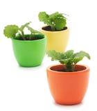 Tre växter i varicolored keramiska koppar. Royaltyfri Fotografi