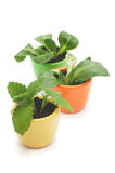 Tre växter i varicolored keramiska koppar. Arkivbild