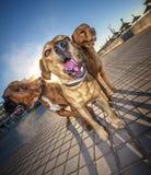 Tre våldsamma hundkapplöpning Arkivbilder