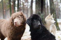 Tre våta hundkapplöpning Royaltyfria Foton