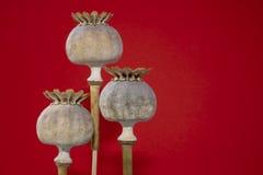 Tre vallmofrökapslar i closeupen som isoleras på apelsinen Arkivbilder
