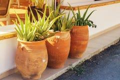 Tre vasi da fiori con aloe crescente vera Fotografie Stock Libere da Diritti