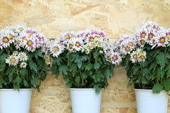 Tre vasi del crisantemo bianco fiorisce l'allineamento su fondo di legno Immagini Stock