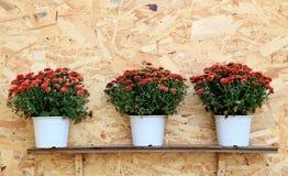 Tre vasi del crisantemo rosso fiorisce l'allineamento su fondo di legno Immagini Stock