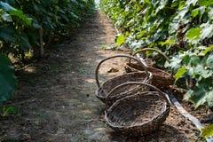 Tre vide- korgar i passagen av vingården Royaltyfria Foton