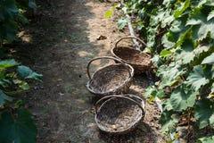 Tre vide- korgar i passagen av vingården Arkivfoton