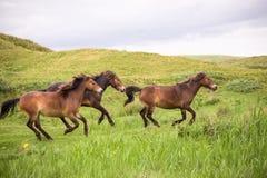 Tre vildhästar som kör på den holländska ön av texel arkivfoton