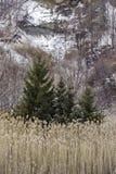 Tre vintergröna träd framme av brant bergssida i kanadensare royaltyfri bild
